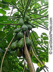 Papaya fruit ripening on the tree, vertical composition. Aka...
