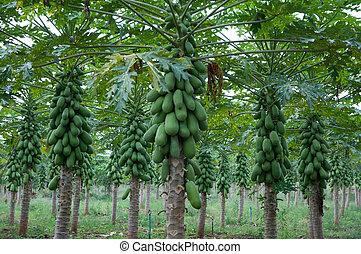 papaya, jardín