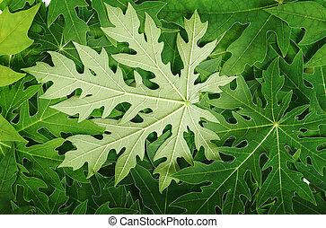 papaya leaf background