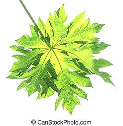 Papaya leaf isolate