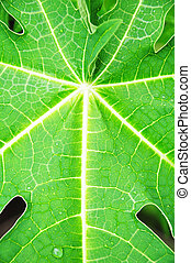 papaya leaf structure