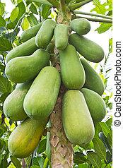 Papaya on the tree