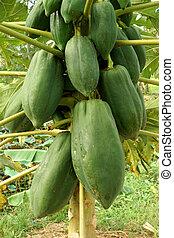 Papaya on the tree.