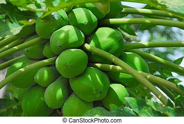 papaya plant with fruit