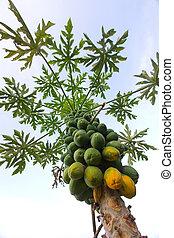 Papaya tree - Papaya fruit hanging on tree in Hawaii
