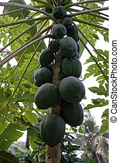 Papaya tree.
