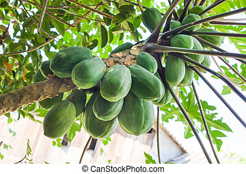 papaya tree with bunch of fruits .