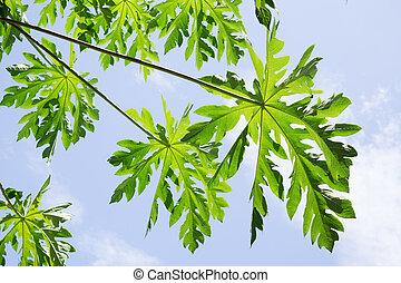 papaya verde, hoja, con, un, cielo azul, fondo.