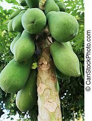 Papaye tree in the garden