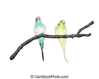 papegøjer, branch