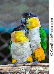 papegøjer, par, constitutions, branch