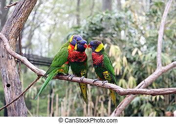 papegøjer, tre