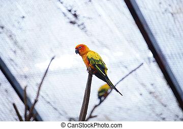papegaai, zon, gele, conure, branch., vogel