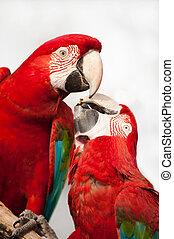 papegaaien, twee, kleurrijke, eating.
