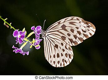 Paper Kite, Rice Paper (Idea leuconoe) black and white butterfly