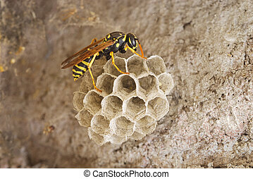 Paper Wasp On Nest