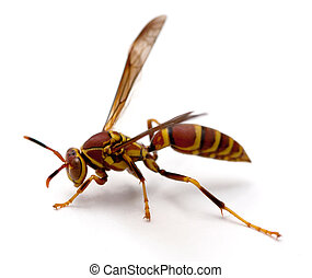 Paper Wasp (polistes dorsalis) on a white background