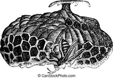 Paper wasp (Vespa nidulans) or umbrella wasp vintage...