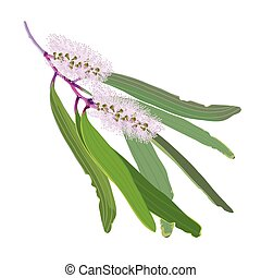 Paperbark Flowering Branches Vector Illustration