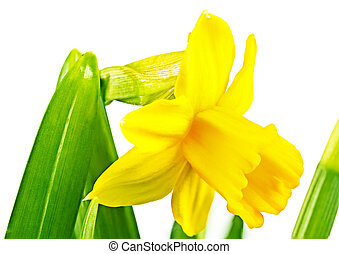 Beautiful narcissus, daffodil -easter lilly