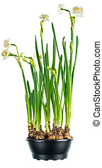 Greeting the arrival of spring with Paperwhite narcissus. Isolated on a white background.
