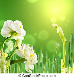 Greeting the arrival of spring with Paperwhite narcissus. Spring card with delicate flowers