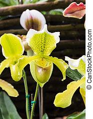 Orchidaceae family - Paphiopedilum callosum is a species of...