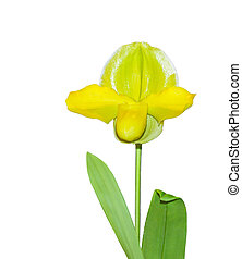 Paphiopedilum Greensleeves Acker's Pinnacle orchid isolated ...