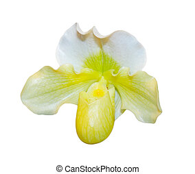Paphiopedilum In Shape orchid flower isolated on white