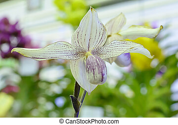 Paphiopedilum, often called the Venus slipper, is a genus of...