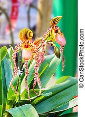 Paphiopedilum orchid.