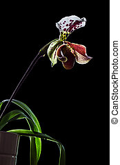 Paphiopedilum orchid blossom isolated on black background