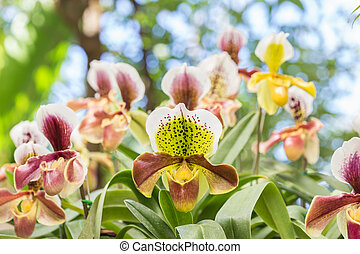 Close up paphiopedilum (orchid) in public garden, Chiang Rai province, Thailand