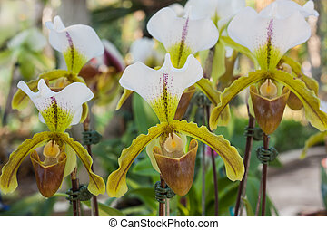 Paphiopedilum orchid. - Paphiopedilum orchid, The Beautiful ...