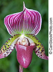 Paphiopedilum orchid photographed in April 2013 in Frankfurt...
