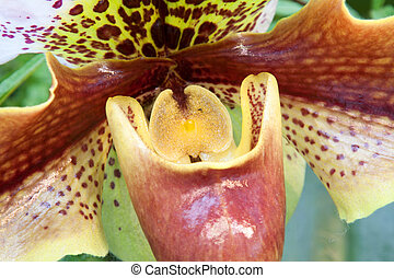 Paphiopedilum orchid photographed in March 2014 in Frankfurt...