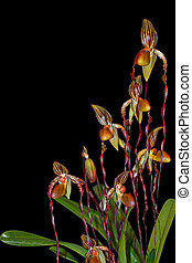 Paphiopedilum Orchid Plant isolated on black background