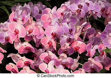 Paphiopedilum, orchid