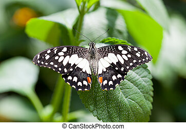 Papilio demoleus malayanus - The butterfly is black with ...