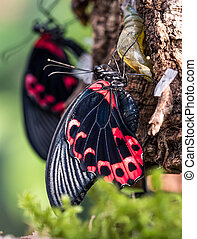Papilio rumanzovia, the scarlet Mormon or red Mormon, butterfly