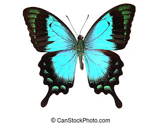 Papilionidae:Blue and black butterfly