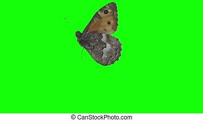 papillon, écran, vert