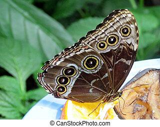 papillon, 2016, niagara, commun, morpho