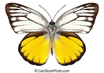 "papillon, arten, cepora, aspasia, ""orange, gull"""