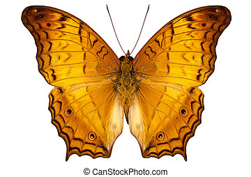 papillon, arten, vindula, dejone, austrosundana