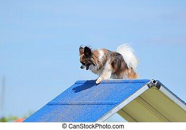 Papillon at a Dog Agility Trial - Papillon Climbing an...
