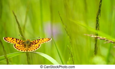 papillon, auf, gras