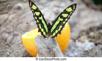 papillon, aufschließen