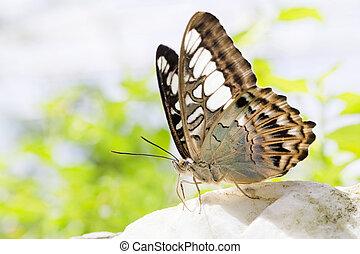 papillon, beau, affichage gros plan