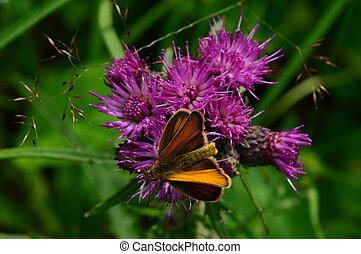 papillon, beau, fleur, pourpre, bord, chardon